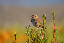 Belding's savannah sparrow, Passerculus sandwichensis. Palo Alto Baylands Nature Preserve, California. - Photo #1306