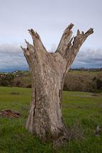 Dead tree at Arastradero Preserve. Palo Alto, California, USA. - Photo #2906
