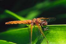 Flame skimmer. Libellula saturata. Monterey, California, USA. - Photo #260