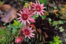 Flowering succulent. - Photo #660
