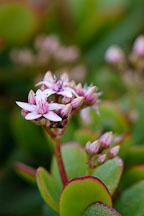 Jade Plant. Crassula ovata. - Photo #5160
