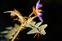 Solanum pyracanthum. - Photo #1960