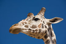 Close-up of giraffe's head. - Photo #17561