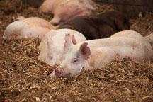 Grow-finish pigs resting. ISU Swine Farm. Ames, Iowa. - Photo #32261