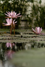 Nymphaea x. Water lilies. - Photo #3561