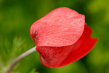 Red Anemone flower. - Photo #11861