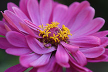Zinnia elegans 'State Fair'. - Photo #2061