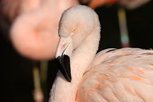 Chilean Flamingo, Phoenicopterus chilensis. Pink flamingo. - Photo #2462