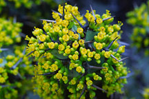 Euphorbia coerulescens. - Photo #1262