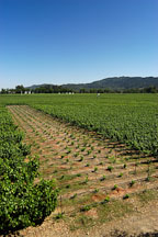 Grape fields. Napa Valley, California. - Photo #1362