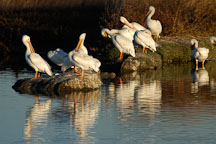 American white pelicans. Palo Alto Baylands Nature Preserve, California. - Photo #2262