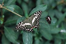 Lime Butterfly. Papilio demoleus - Photo #662
