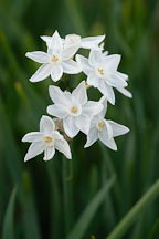 Narcissus papyraceus, Paperwhite Daffodil. - Photo #2962