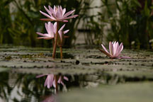 Nymphaea x. Water lilies. - Photo #3562