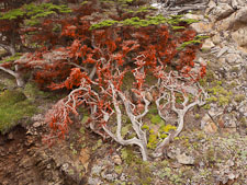 Cypress tree on cliff face covered in red algae. - Photo #26963
