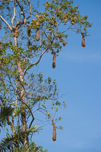 Hanging oropendola bird nests near Tambopata reserve in the Amazon. Peru. - Photo #8863