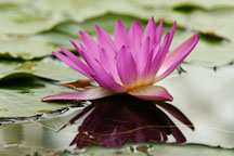 Nymphaea x. Water lilies. - Photo #3563