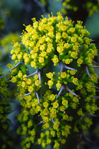Euphorbia coerulescens. - Photo #1263