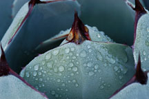 Agave with morning dew drops. - Photo #2664