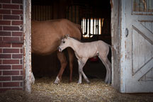 Dun colored foal standing in doorway with mother. - Photo #32364