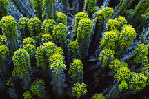 Euphorbia coerulescens. - Photo #1264