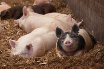 Finisher hogs inside barn. ISU Swine Farm. Ames, Iowa. - Photo #32264