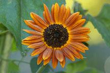 Sunflower 'Velvet Queen'. Helianthus annuus. - Photo #1964