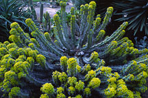 Euphorbia coerulescens. - Photo #1265