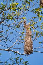 Oropendola bird nest near Tambopata reserve in the Amazon. Peru. - Photo #8865