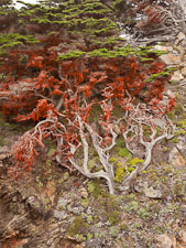 Algae rich in beta carotene cover this Monterey cypress tree. Point Lobos, California. - Photo #26965