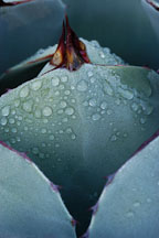Early moning dew on Agave. - Photo #2665
