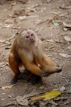 White faced Capuchin monkey. Rollin Island, Madre de Dios river, Amazon, Peru. - Photo #8965