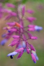 Salvia semiatrata. - Photo #2366
