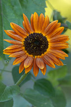 Pictures of Helianthus, Sunflowers