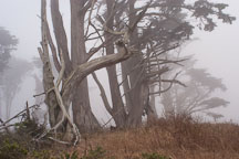 Fog and trees at Tomales Point, Point Reyes National Seashore, California. - Photo #1766