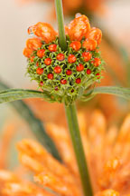 Pictures of Leonotis