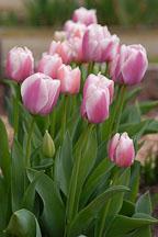 Tulip 'Ollioules', Tulipa. - Photo #2967