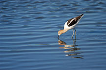 American avocet, Recurvirostra americana. Palo Alto Baylands, California. - Photo #1368