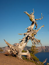 Ancient whitebark pine tree at Crater lake, Oregon. - Photo #27368