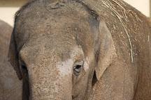 Asian Elephant, Elephas maximus. - Photo #2468