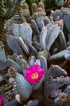 Beavertail cactus. Opuntia basilaris. - Photo #1268