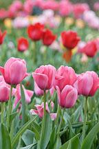 Tulip 'Menton', Tulipa. - Photo #2968