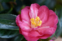 Camellia. 'Coral delight'. - Photo #2369