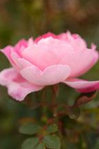 Rose, 'Carefree wonder' - Photo #4969