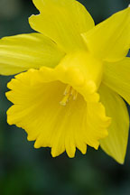Narcissus, Daffodil. - Photo #2869