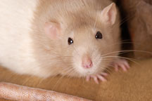 Beige hooded rat. - Photo #5893