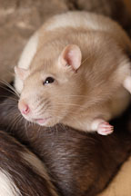 Beige hooded rat. - Photo #5933