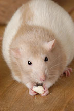 Beige hooded rat eating a treat. - Photo #5927