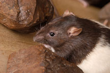 Audrey, a brown hooded rat. - Photo #5890