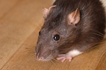 Audrey, a brown hooded rat. - Photo #5910